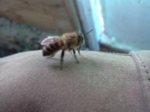 фото пчелки